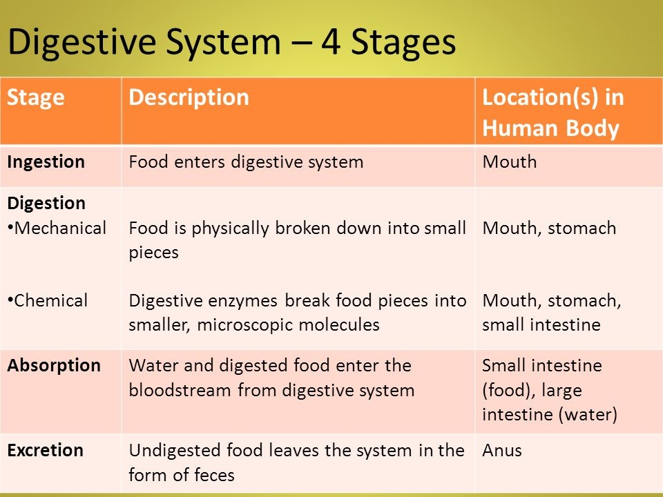 digestive system stages